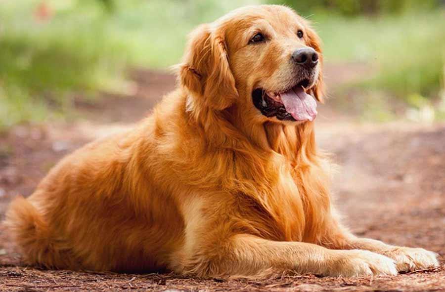 اذكى انواع الكلاب فى العالم