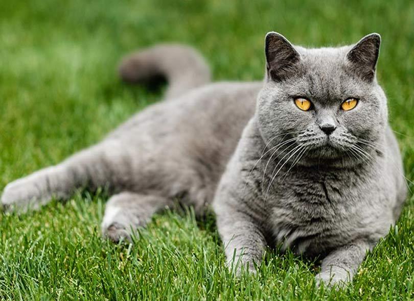 قطط قط بريطاني قصير الشعر