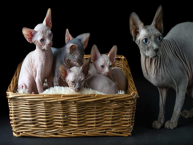 القط الفرعونى قطط سفنكس خصائصه مميزاته عيوبه تغذيتة تدريبه شخصيته الامراض زوشن